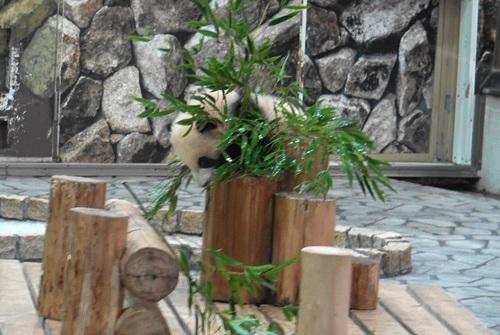 丸太の上で竹を囓る彩浜2(13).jpg