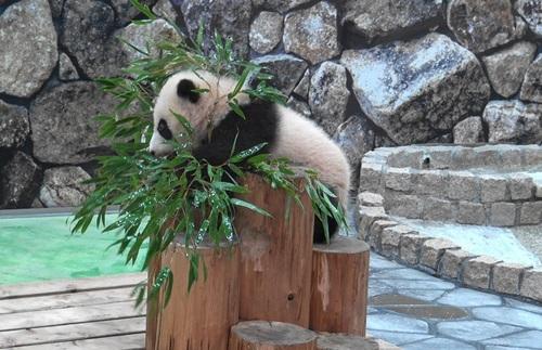 丸太の上で竹を囓る彩浜2(4).jpg