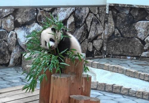 丸太の上で竹を囓る彩浜2(8).jpg